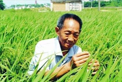 """袁隆平团队成功试种""""沙漠海水稻""""  八十多个品种均超出世界水稻平均产量"""