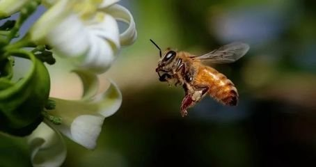"""蜜蜂不仅是""""学霸"""",还是窃听高手"""