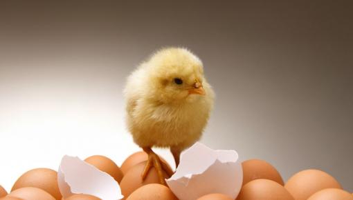 萌化了!中国首只无壳孵化小鸡正挥着小翅膀跟你打招呼