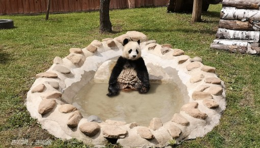 """""""限制级""""视频来啦!熊猫洗澡你看过吗?还有更多幕后趣闻呢!"""