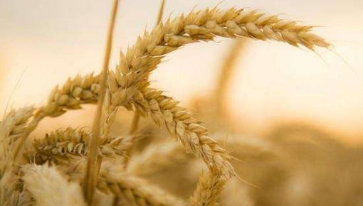 原来小麦最营养的部分一直被浪费了?中科院攻克小麦糊粉层分离技术