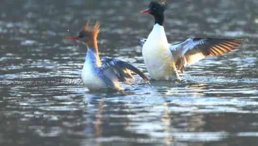 """吉林省启动中华秋沙鸭保护行动 做""""水中活化石、鸟中大熊猫""""最温暖的家"""