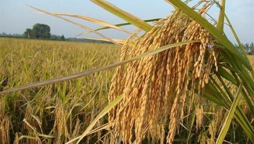 """""""超级杂交水稻""""个旧百亩示范基地平均亩产创新高"""