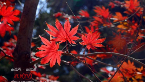 拍照必去|南湖公园枫叶别样红 又到赏枫最好时节