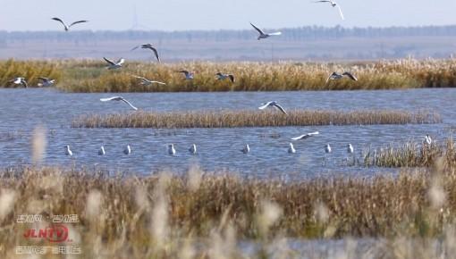 视频|波罗湖湿地十万候鸟开始南迁 画面十分壮观