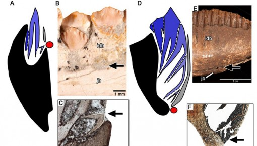 """吉林大学""""长春龙""""研究有新成果:发现恐龙牙釉质波纹构造的最早记录"""
