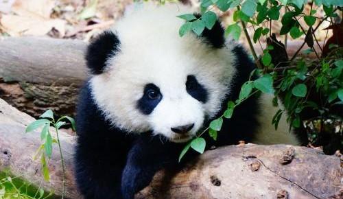 中国学者首次发现熊猫牙可以自修复,研发仿生材料有了新思路