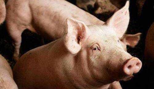 农业农村部:非洲猪瘟纳入强制扑杀补助范围 标准为1200元/头