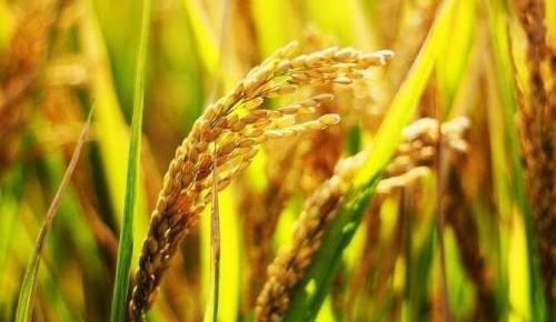 万博手机注册省六个水稻品种获金奖 名列全国参评单位首位