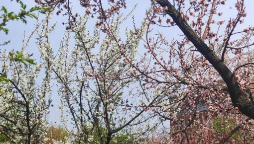 长春中医药大学举办第二届杏花节