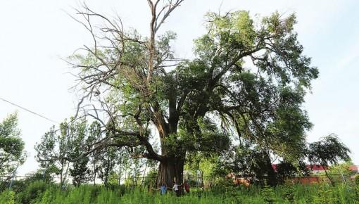 吉林省多措并举加强古树名木保护 已登记古树名木达到2万余棵