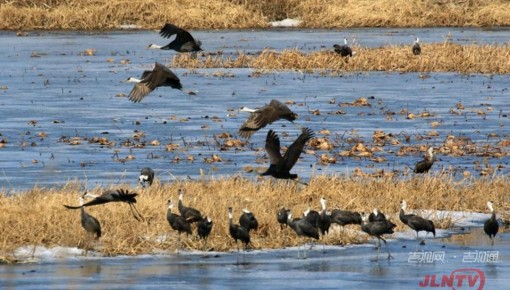 2000多只白头鹤驻足九台石头口门湿地保护区