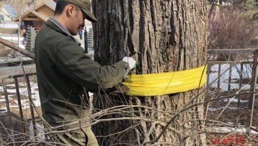 榆樹身披黃綢帶,這是什么操作?