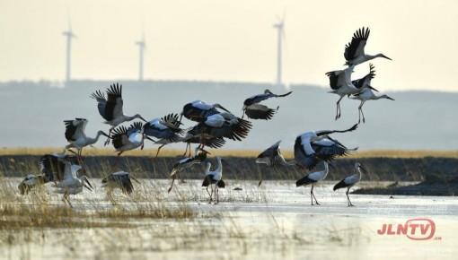 壮观!500多只东方白鹳云集吉林波罗湖自然保护区