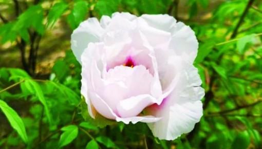 快来一饱眼福吧!长春市牡丹园第一朵牡丹花开啦