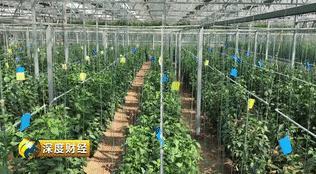 中国种子的漂亮反击战!农户一天要摘1000多斤黄瓜,累并快乐着