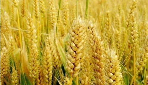 中国科学家成功破译距今约3800年的古小麦全基因组