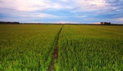 """大学生种田让农民""""老把式""""开了眼——吉林长白山下的稻田新事"""