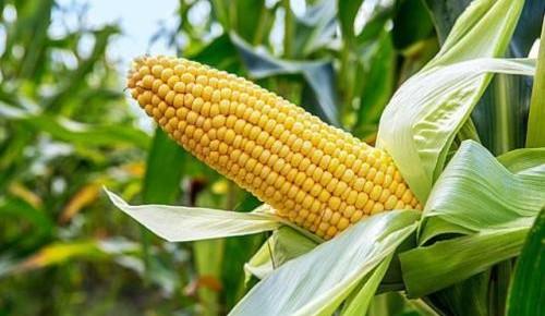我国科学家成功绘制玉米高分辨三维基因组图谱