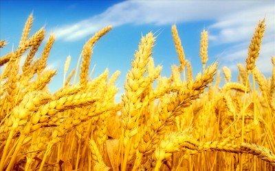 夏粮收获进入尾声 全国多地已做好夏粮收购资金供应和管理工作