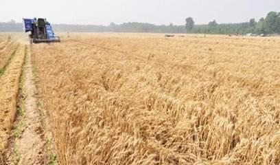 5月份農業農村經濟運行總體平穩 夏糧生產量質齊升