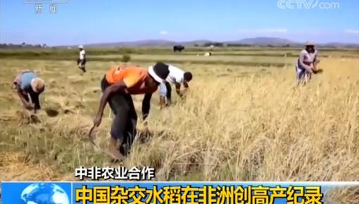 中非农业合作 中国杂交水稻在非洲创高产纪录