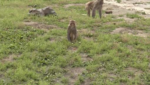 蹿围栏上围墙 淘气小猴跑下猴山