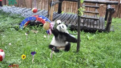 """熊猫""""初心""""三岁啦!"""