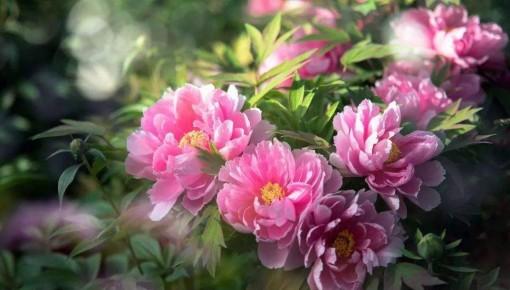 中国花卉协会推荐牡丹为国花,你怎么看?