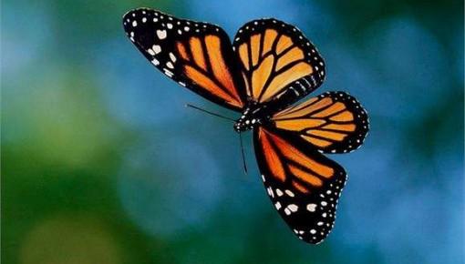 蝴蝶翅膀结构可为最新防伪技术提供灵感