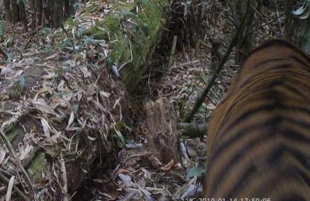 我国科研人员首次在野外拍摄到孟加拉虎活体照片