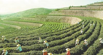 """让好生态变成""""金饭碗""""(田间追踪高质量) ——安徽六安农业农村高质量发展调查"""