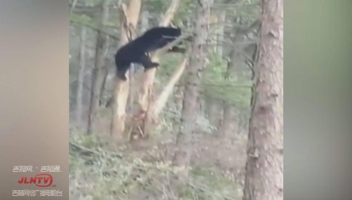 熊出没!通化县庄稼地现黑熊 偷吃不成被卡树上
