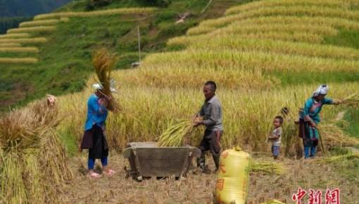 秋粮开收 中国粮食年产量比70年前增加1万多亿斤