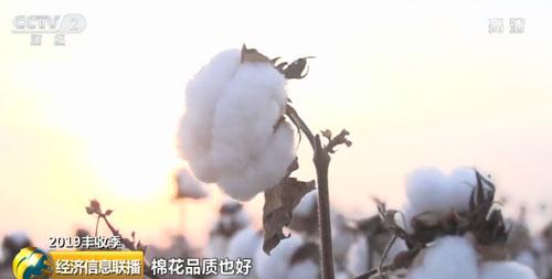 【2019丰收季】今年我国棉花总产量预计将达到616万吨