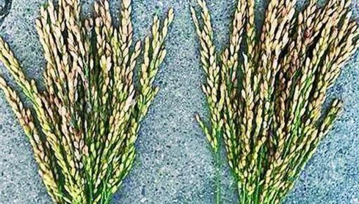"""超声波给种子""""洗澡"""" 让农作物增产"""