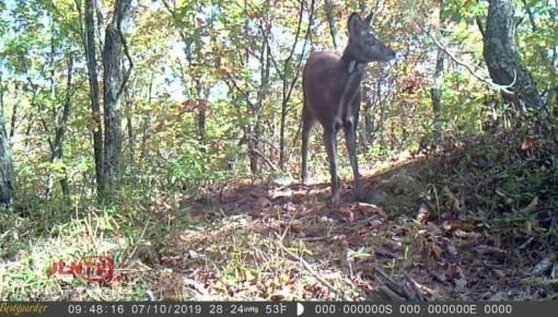 吉林省天桥岭林区首次拍摄到国家一级保护动物原麝实体影像