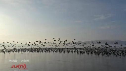 候鸟风暴来了!敬信湿地数十万只大雁集结南迁