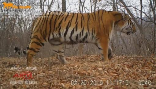 零容忍!东北虎豹国家公园启动打击非法盗猎专项行动