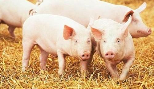 我国加快恢复生猪生产 推动畜牧业转型升级