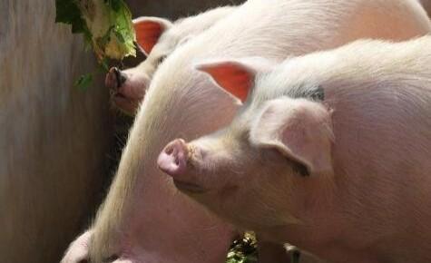 農業農村部:全國生豬存欄止降回升 豬肉價格連續四周回落