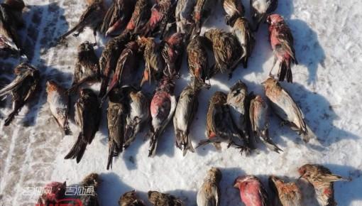 """小网套牵出大""""盗贼"""" 森林公安查获427只野生鸟类"""