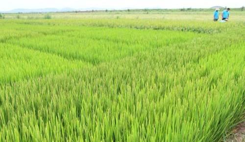 我国海水稻区域试验种植平均亩产超400公斤