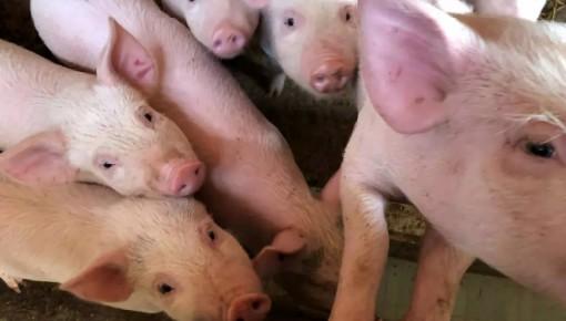 2万吨!年内第七批中央储备冻猪肉要来了