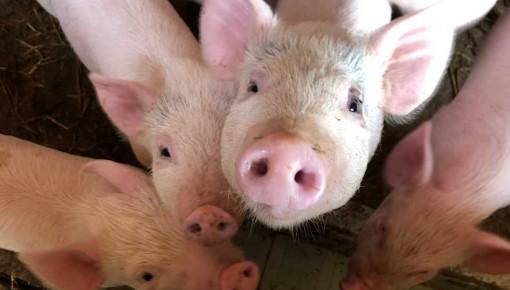 中央财政持续加大生猪稳产保供支持力度