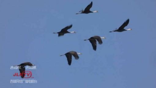 2000多只白头鹤停歇石头口门水库
