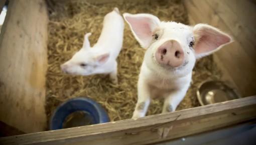 疫情之下生猪生产形势如何?农业农村部:继续向好