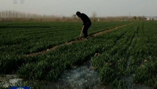 春分时节麦起身 转化苗情促丰收