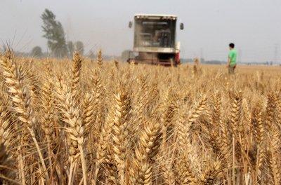 藏糧于技,小麥玉米生產能力再提高不是問題