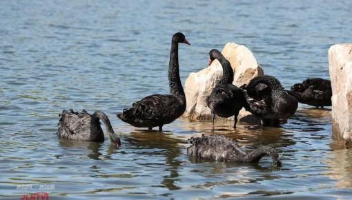 八只黑天鹅落户友谊公园,长春市民有眼福了!